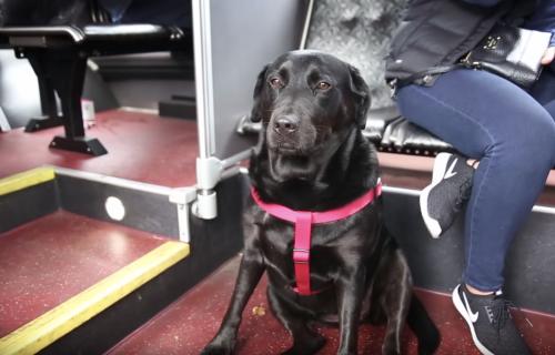 Ovaj pas se sam vozi autobusom i ima mesečnu kartu na ogrlici (FOTO+VIDEO)