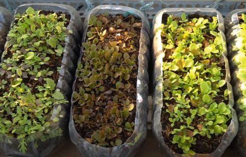 ZABORAVITE NA PIJACE I SUPERMARKETE: Odgajite sami zelenu salatu (VIDEO)