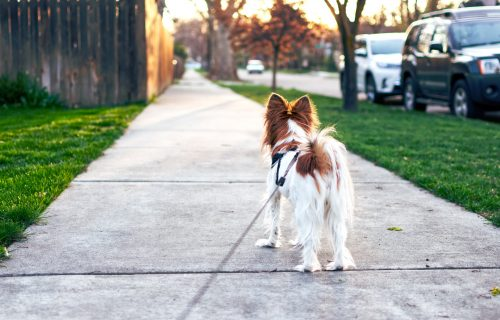 Pas šeta vas umesto vi njega? Naučite ga da ne vuče povodac uz pomoć DVE jednostavne METODE
