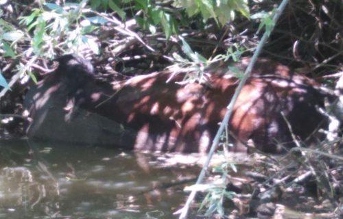 (UZNEMIRUJUĆ SADRŽAJ) Slike koje kidaju dušu: Milosavljevići pronašli mrtve konje koje je odnela Morava