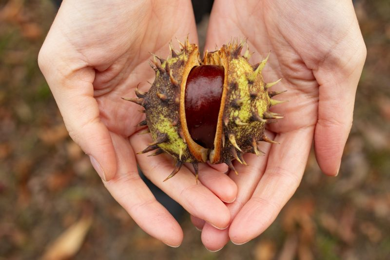 Sa razlogom ga zovu jesenjim zlatom: Kad saznate šta sve KESTEN leči, češće ćete ga konzumirati